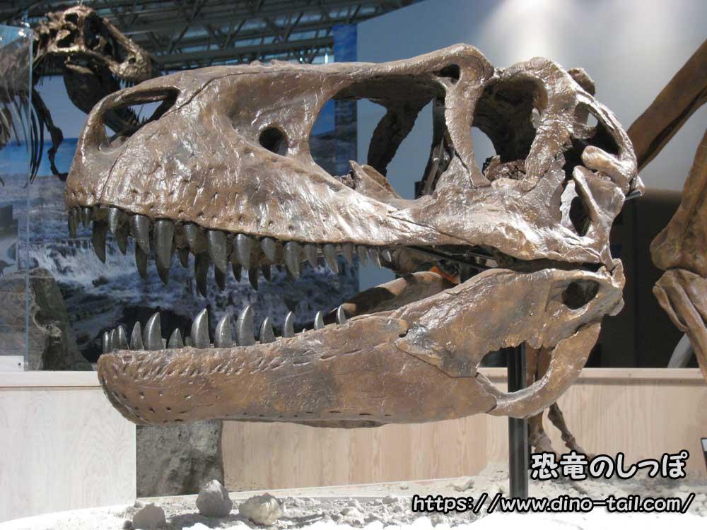 アルバートサウルスの頭骨化石